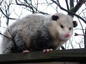 Are Possums Dangerous? – Lisburn's Creative Writing